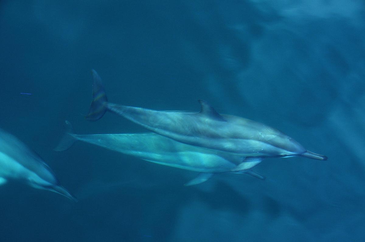 Komodo Delfiene vom luxus boot bestaunen
